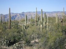 Saguaro National Park Rincon Mountain District Tucson Cactus Forest Douglas Springs Trail