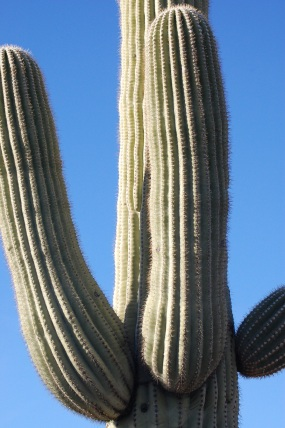 Saguaro National Park Tucson Mountain District Cactus
