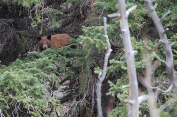 A bear high in the trees on the way to - appropriately enough - Bear Lake
