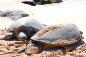 Hawaii Sea Turtles Honu Oahu North Shore