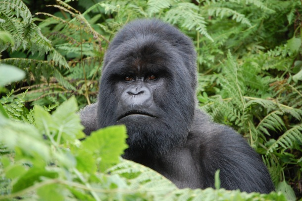 Gorillas Munyinya Closeup Rwanda Africa Virungas National Park