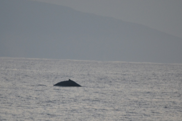 The humpback whale arches its back as it dives