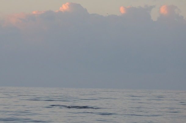 A humpback whale surfacing under the sunrise