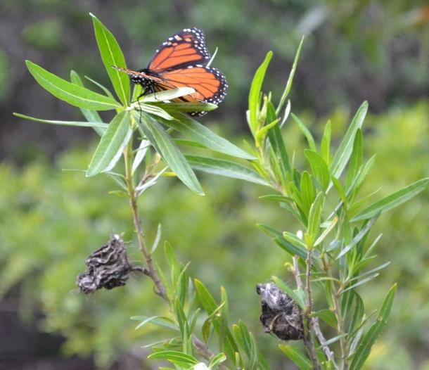 Koloiki Trail Butterfly Lanai Hawaii