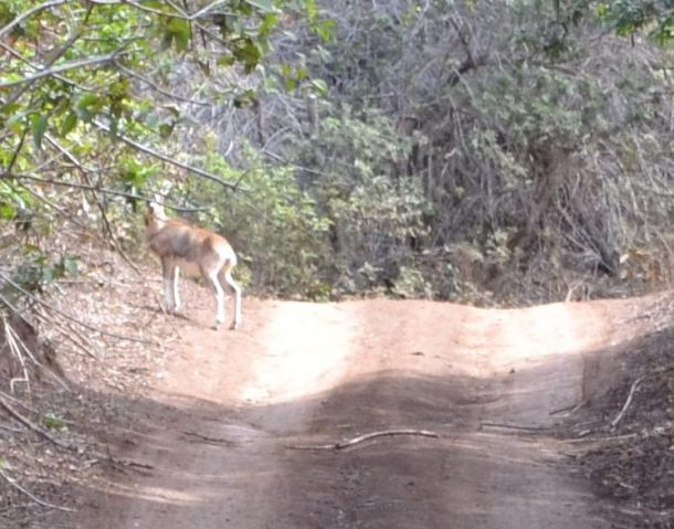 Koloiki Trail Munro Trail Axis Deer Lanai Hawaii