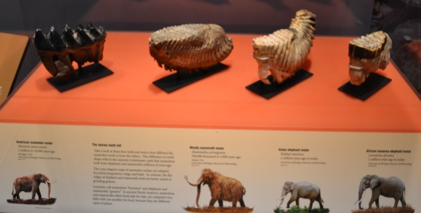The different teeth, mastodon on the left and elephant on the right