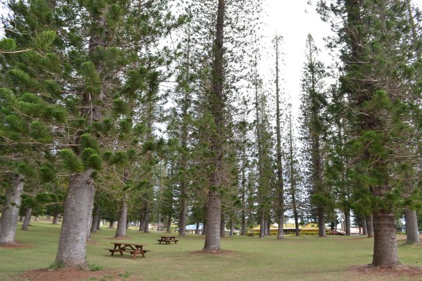Dole Park Pine Trees Lanai Hawaii