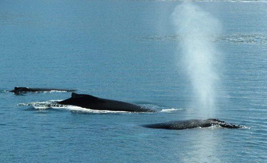 Spouting humpback whales!