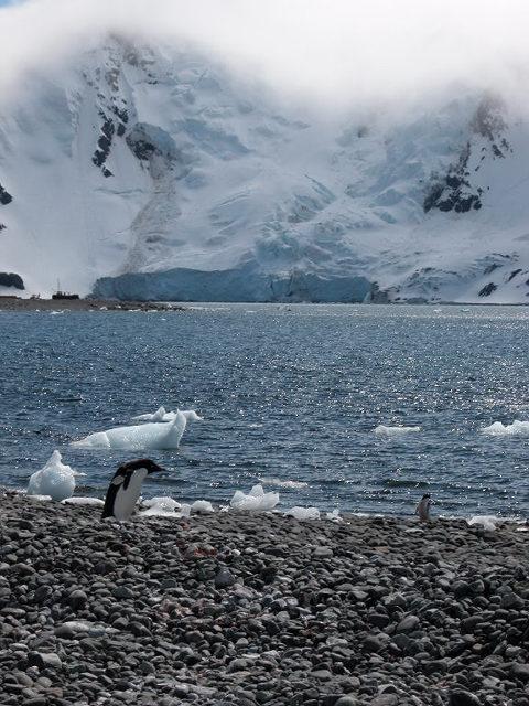 A running Adelie penguin near Arctowski