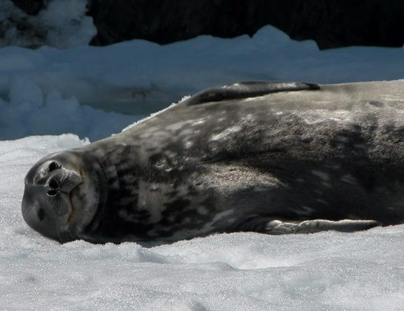 A seal who needs his belly scratched