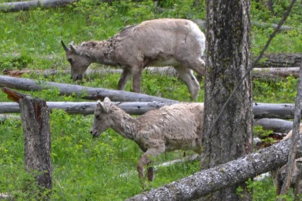 Big horn sheep graze near Tower Roosevelt