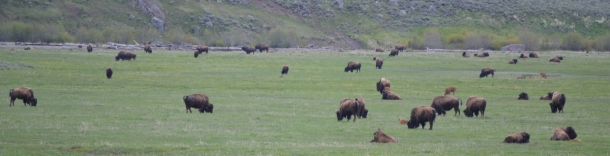 A bison herd in the Lamar Valley