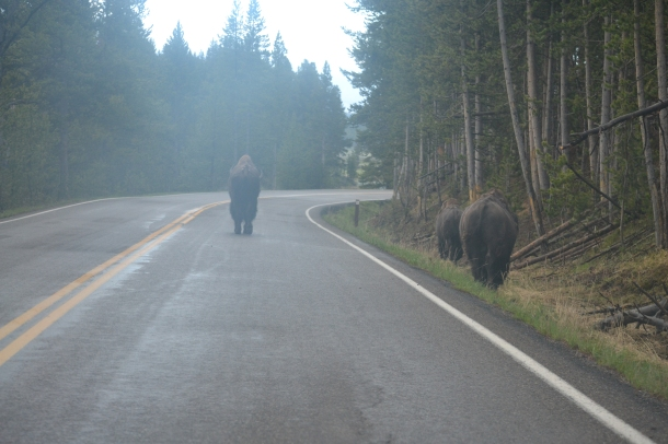 The bison are trying to stop me from leaving Yellowstone National Park!