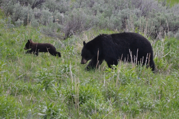 A black bear and her cub near the Blacktail Plateau