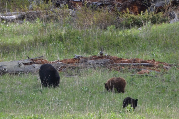 A momma black bear and her two cubs in Yellowstone