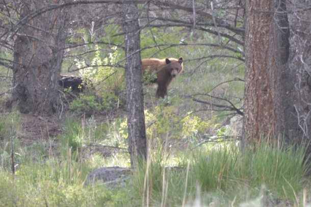 Another nearby black bear takes a break from a carcass he's eating