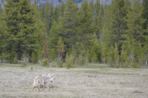 A coyote would be mangy anywhere else, but in Yellowstone it's like magic