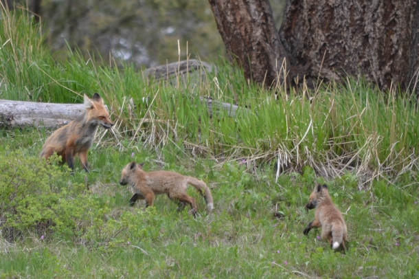 Two fox kits playing in Yellowstone National Park