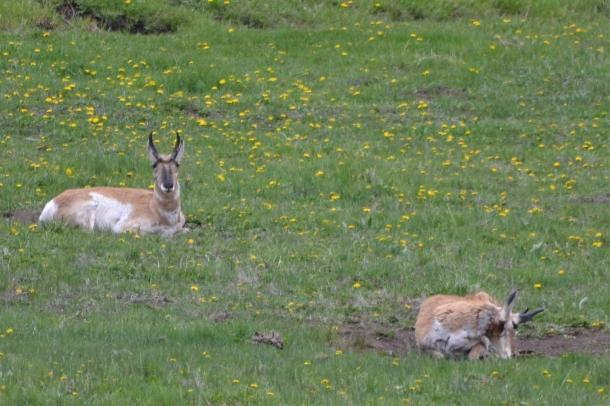 Pronghorn deer lounge in the Lamar Valley