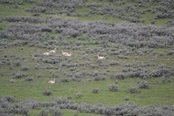 Pronghorn deer stick out on a green landscape