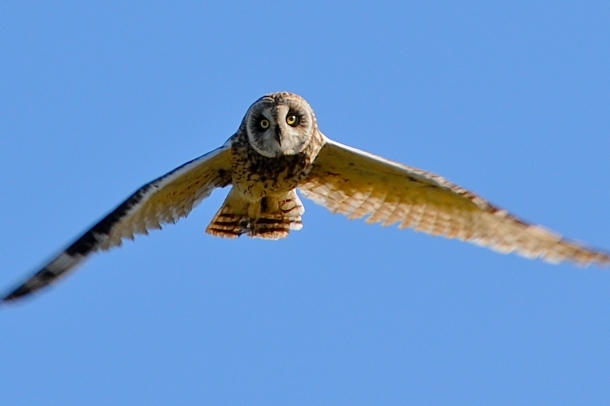 Pue'o Owl, photo courtesy Steve with Island Adventure Fitness