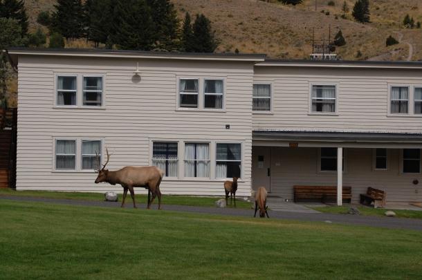 Elk in Mammoth Hot Springs