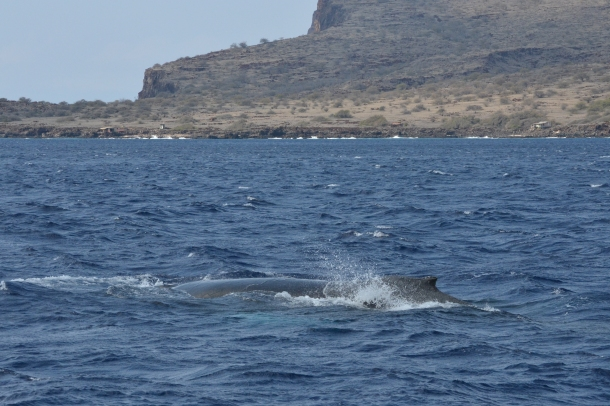 Whale watching on Lanai, Hawaii