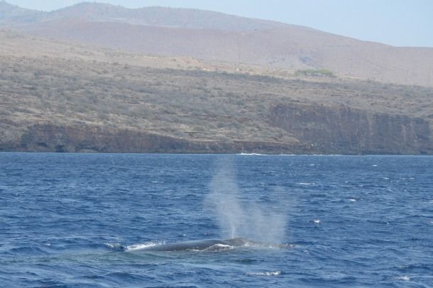 A humpback whale along the Lanai shoreline
