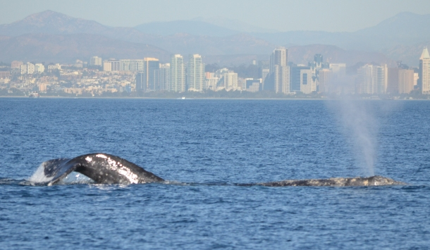 Two gray whales and San Diego
