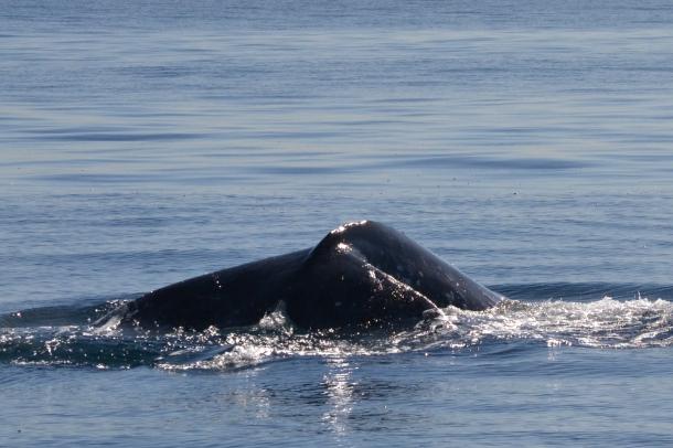 Gray Whale San Diego 4