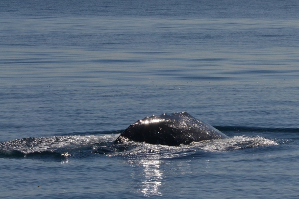 Gray Whale San Diego California 3