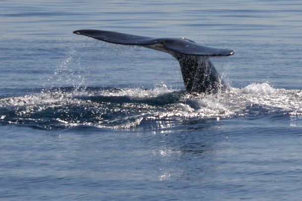 Gray Whale San Diego California 5
