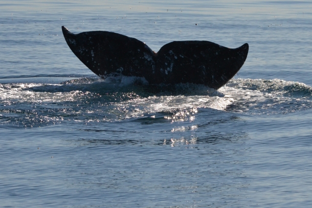 Gray Whale San Diego California 6