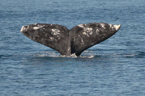 A gray whale fluke