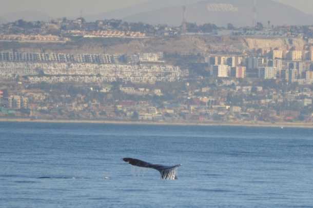 A gray whale and Tijuana, Mexico