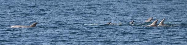 Risso Dolphins Pod San Diego California