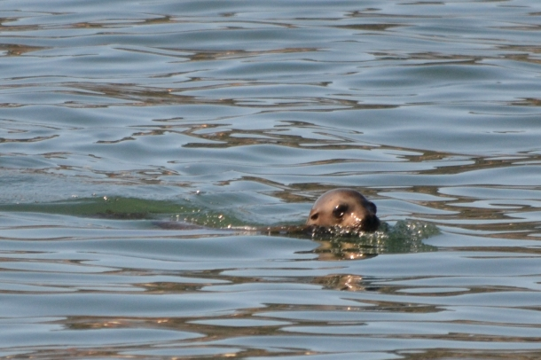 San Diego Sea Lion Swimming