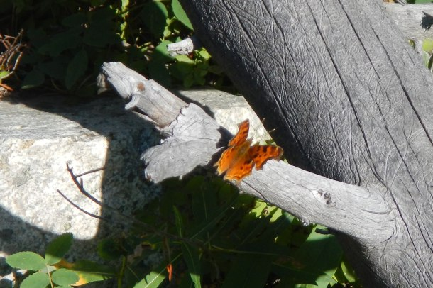 A lovely butterfly on the trail to Ouzel Lake