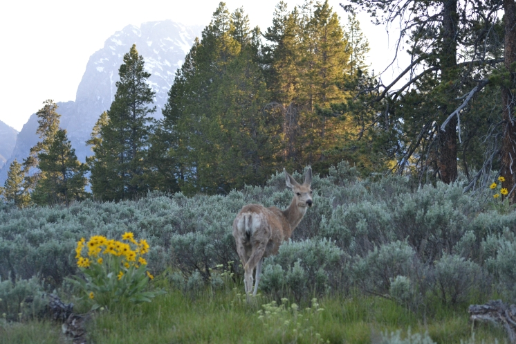 Deer were everywhere on a short trail at the Colter Bay in the Tetons