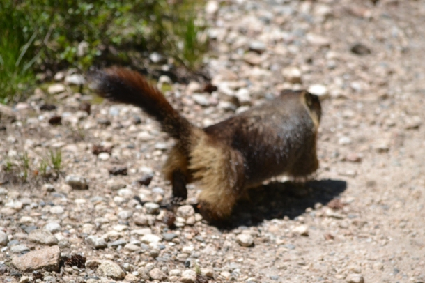 """""""Senor Fluffy Tail"""" did not want his picture taken in Cascade Canyon in the Tetons"""