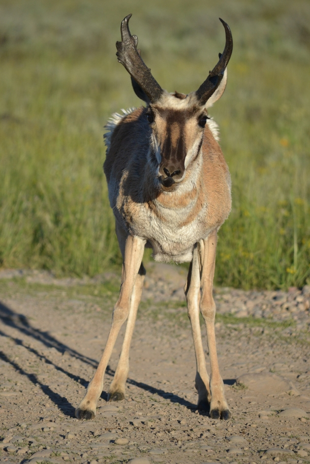 Road side pronghorn in the Tetons!