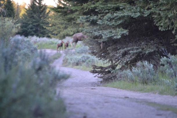 """Twin Baby Moose!"" looking as blurry and elusive as Sasquatch"