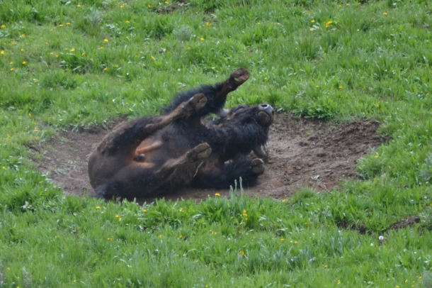 Wallow-rolling Buffalo!