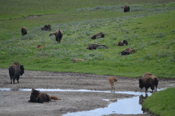 Yellowstone's Baby Buffalo!