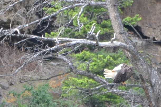 Yellowstone's East Entrance Preening Bald Eagle