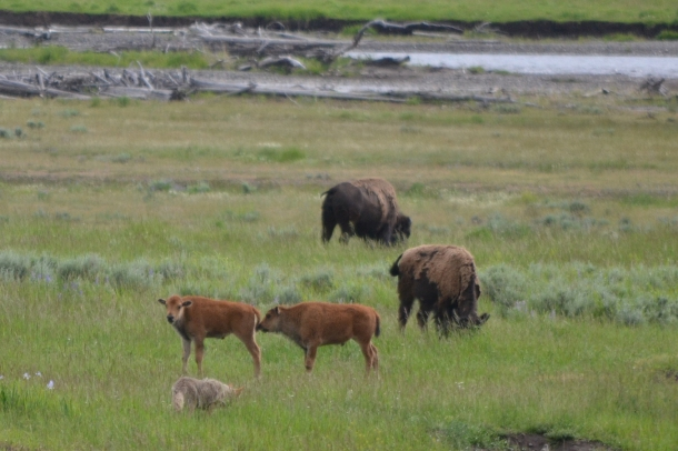 "Coyote hunting ""Twin Baby Buffalo"" in Yellowstone's Lamar Valley"