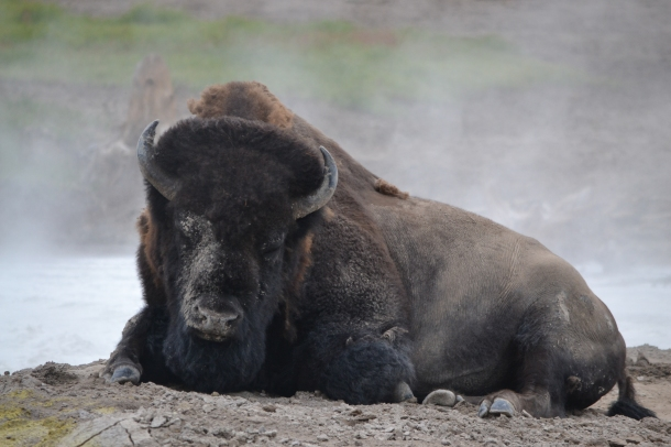 """Spay Day Buffalo"" at Yellowstone's Mud Volcano"