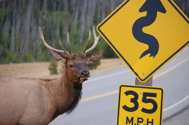 yellowstone deer